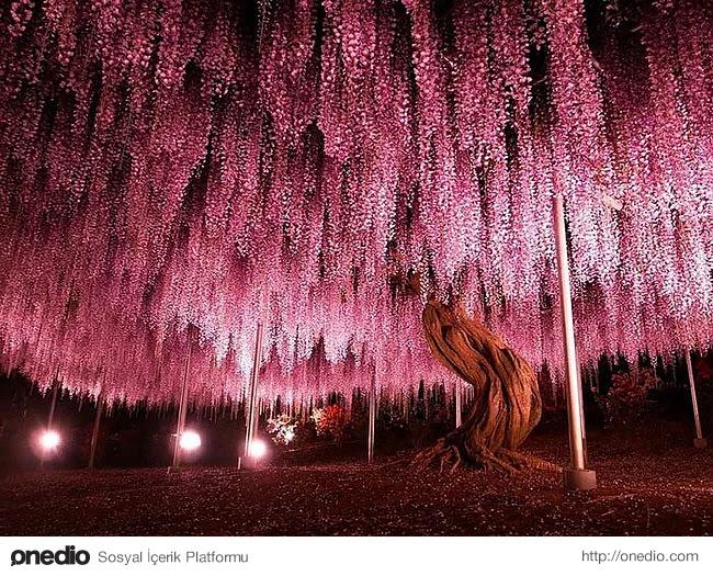 Ayrıca bu ağaç dünyadaki en büyük morsalkımlardan birisidir.