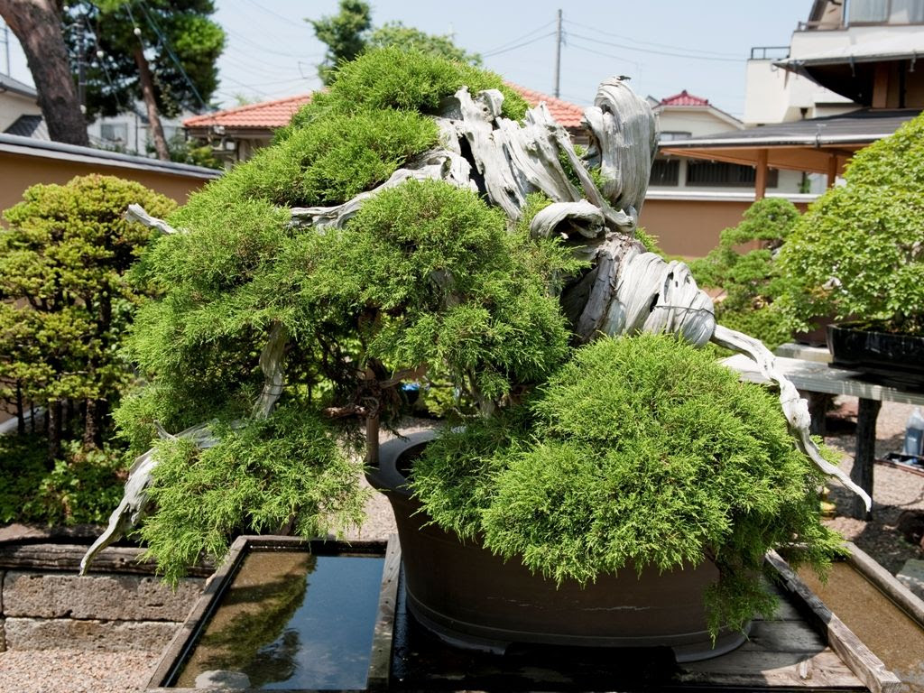 1000 year old pine Bonsai tree at Mansei-en