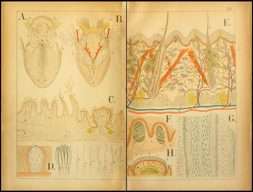 An atlas of Anatomy (FF Miller, 1879) l