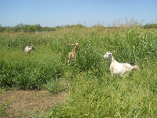 Again, Goats Grazing in the Wheat Field