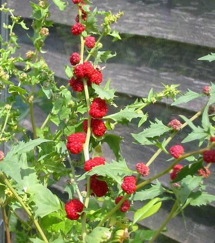 strawberryspinach2