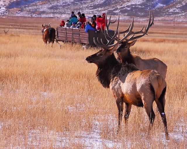 IMG_2980 Bull Elk