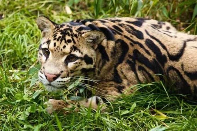 Tras declararlo supuestamente extinto, logran ver a un ejemplar de leopardo nublado en 30 años