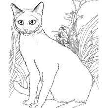 Dibujos Para Colorear Gatos Siameses Eshellokidscom