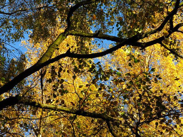 Birch Canopies