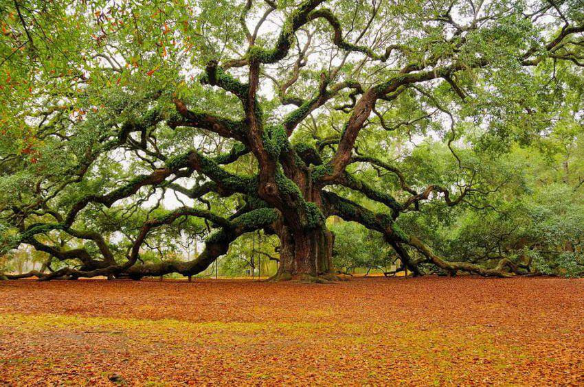 http://www.consostatic.com/wp-content/uploads/2013/03/arbre-1500ans-Angel-Oak-Charleston.jpg