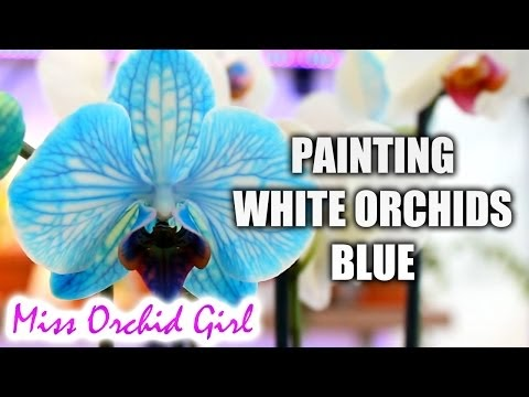 DIY BLUE ORCHID HOW BLUE PHALAENOPSIS ORCHIDS ARE MADE