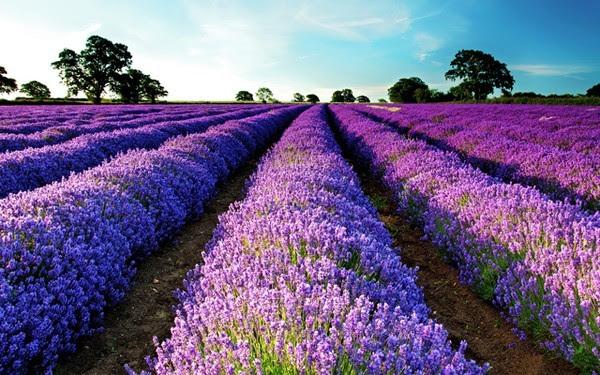 mùa hoa, hoa tím