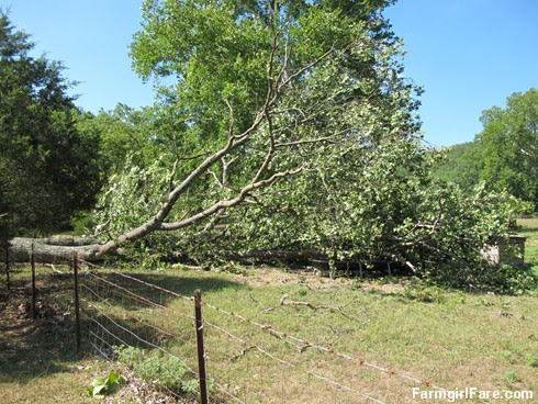 (19-1) Beautiful old oak tree that fell during Thursday's storm - FarmgirlFare.com
