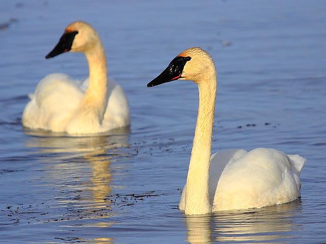 IMG_5056 Trumpeter Swan, National Elk Refuge