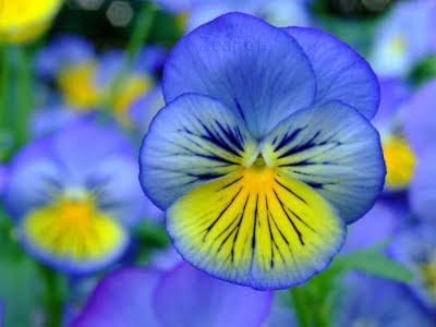 Pensamiento Flor