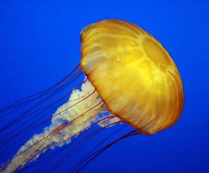 """Ubuntu 22.04 LTS si chiamerà """"Jammy Jellyfish"""""""
