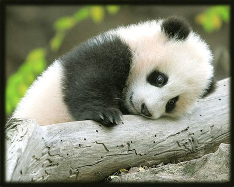 gambar panda lucu  imut gambar pemandangan