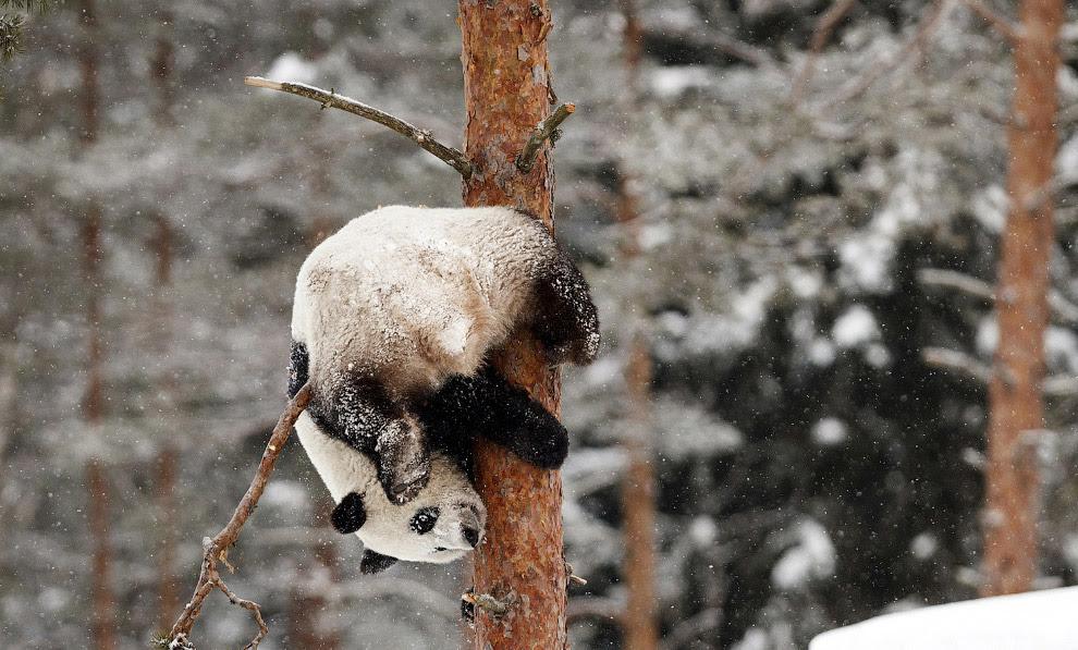 Панда-акробат в зоопарку в Ахтар, Фінляндія