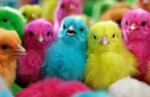 Chicks of various colors.                   We called      them