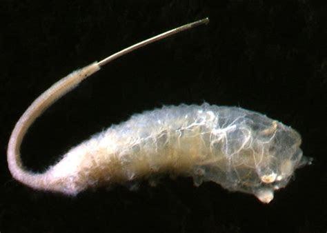 Image Gallery maggot larvae