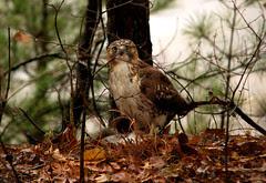 Emerald Park hawk - staring down the photographer....
