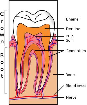 Sections of tooth undergoing development.
