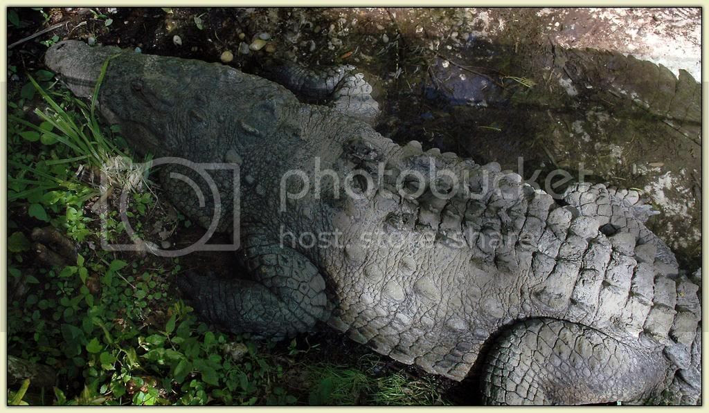 Huge-Ass Croc 1