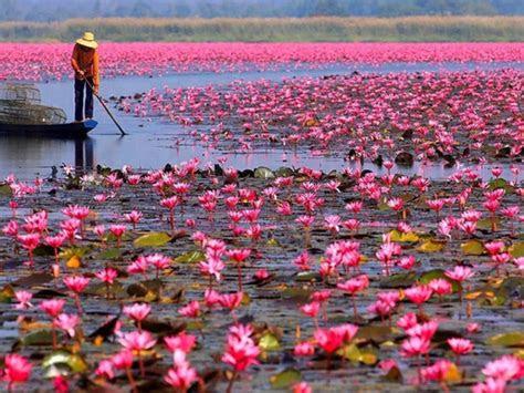 red lotus lake color pink lotus udon thani talay bua dang