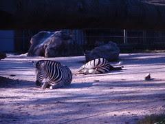 zebra sleeping