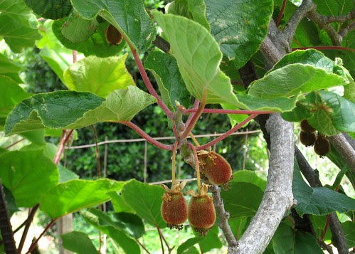 Baby kiwis growing on the vine in the Edible Schoolyard by Eve Fox, Garden of Eating blog