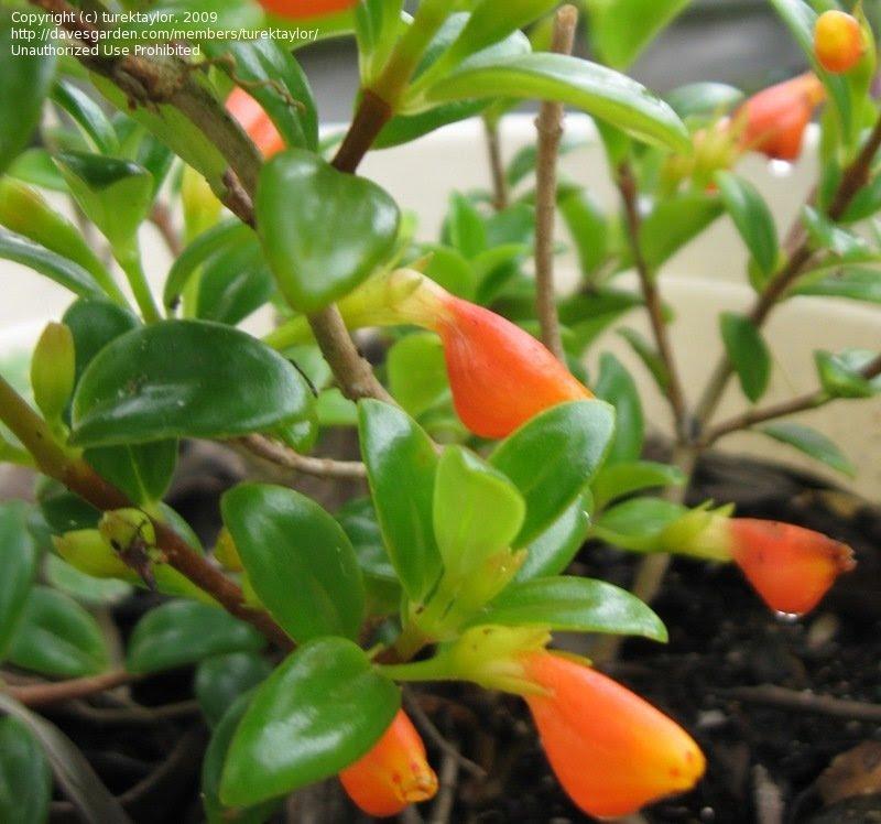 columnea goldfish plant. Goldfish Plant #39;Black