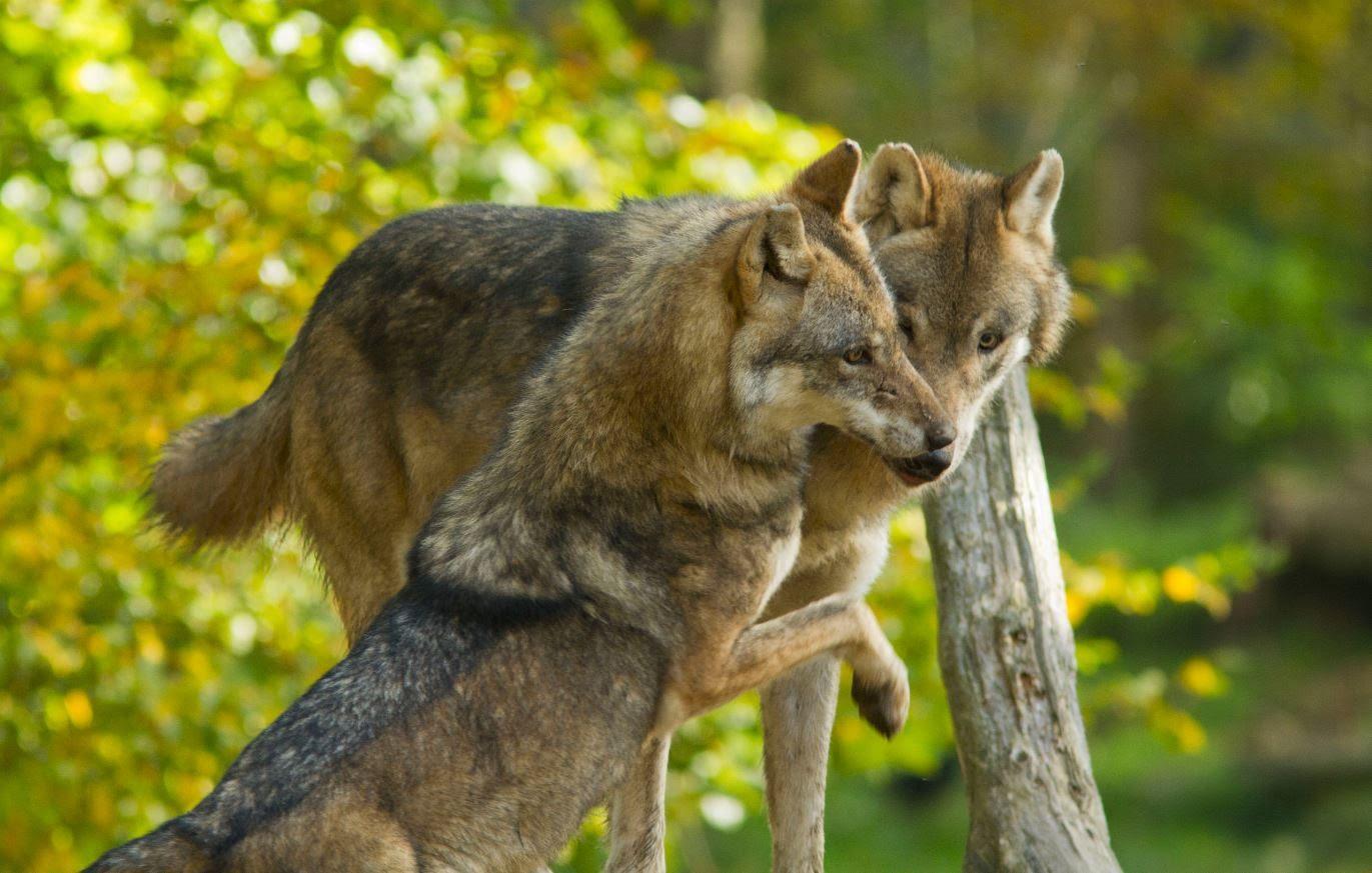 Imágenes De Lobos Salvajes Imágenes Y Fotos