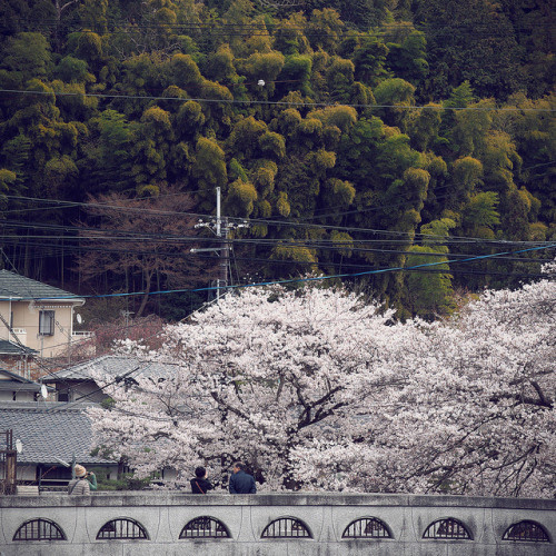 ochabang:  Awesome cherry blossom by ルーク.チャン.チャン on Flickr.