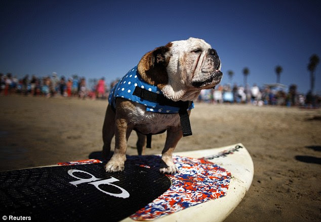 Ruff rider: This cool pooch gazes out to the sea he hopes to conquer