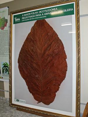 Folha da Coccoloba, exposta no Inpa, possui 2.50 m de comprimento (Foto: Tiago Melo/G1 AM)