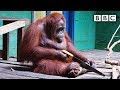 Wild Orangutan Learns How To Use A Saw - Video