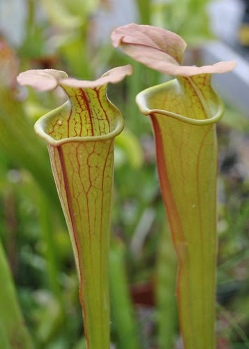 Unknown Sarracenia hybrid
