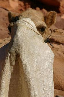 Camel lady with veil