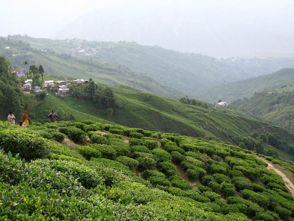 Darjeeling tea plantation