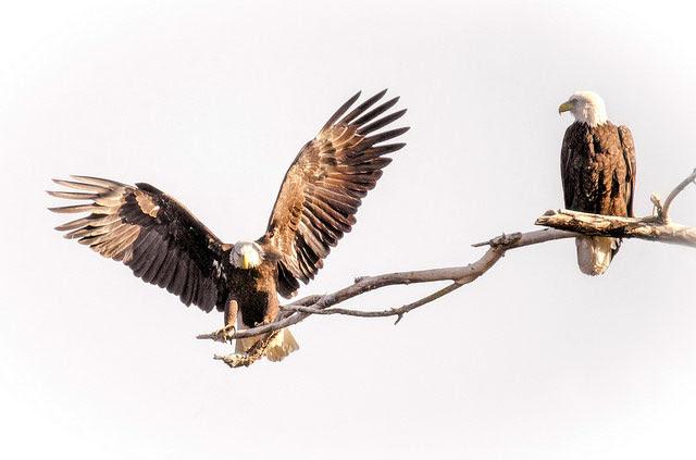 Acorn woodpeckers             in Atascadero, California --