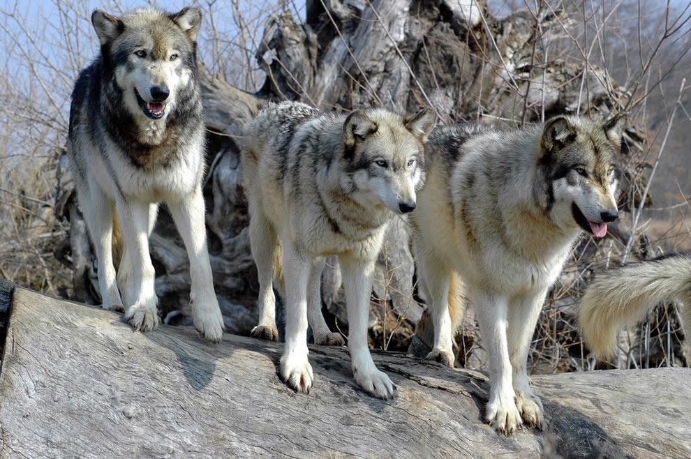 Todos Sobre Los Lobos Completomegapost Info En Taringa