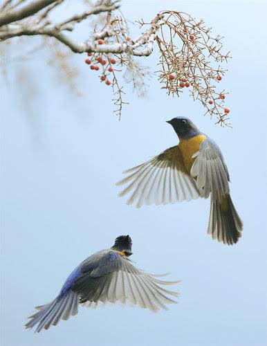 #98 黃腹雙逐 (A couple tracing each other in the air) por John&Fish