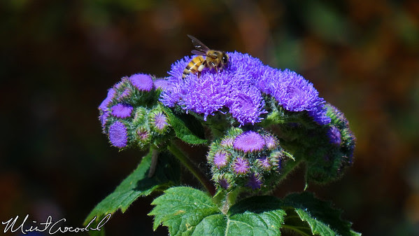 Disneyland, Flowers, Bee