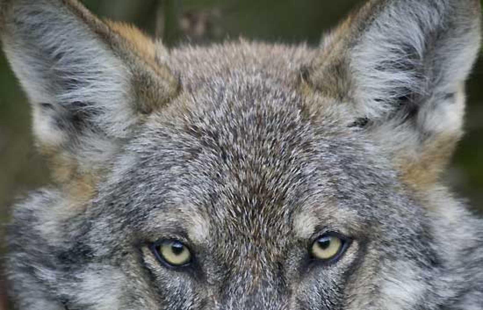 El Lobo Ibérico Prefiere Presas Salvajes A Las Ovejas Rtvees