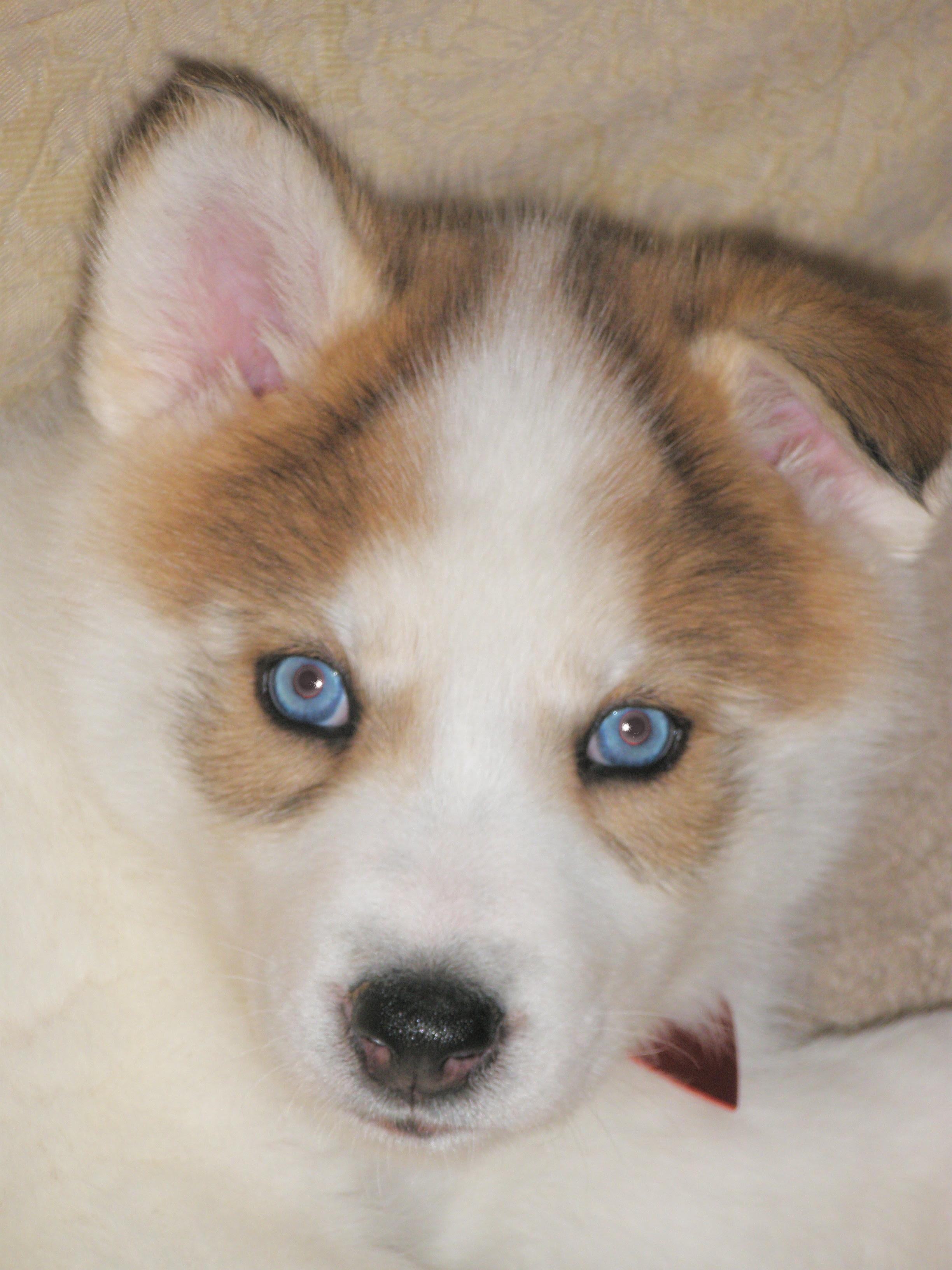 Native American Indian Dog: