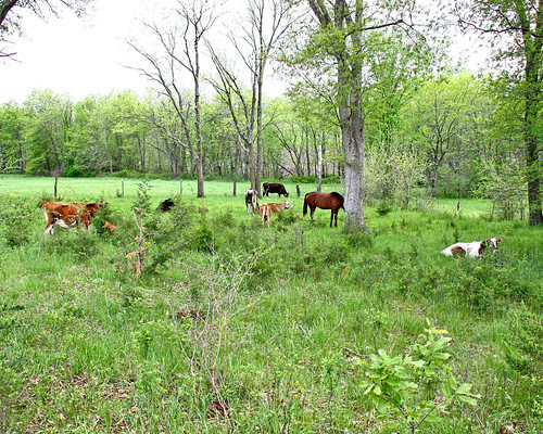 Cows and horse in the pasture