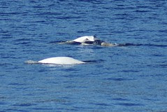 DSC02576 Beluga with calf