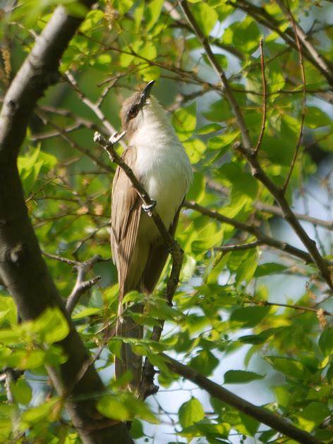 Ed Gaillard: birds &emdash; Black-Billed Cuckoo, Central Park