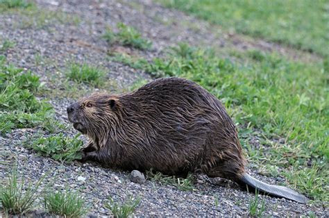 North American Beaver (Castor canadensis) DSC 0081   Flickr   Photo Sharing!