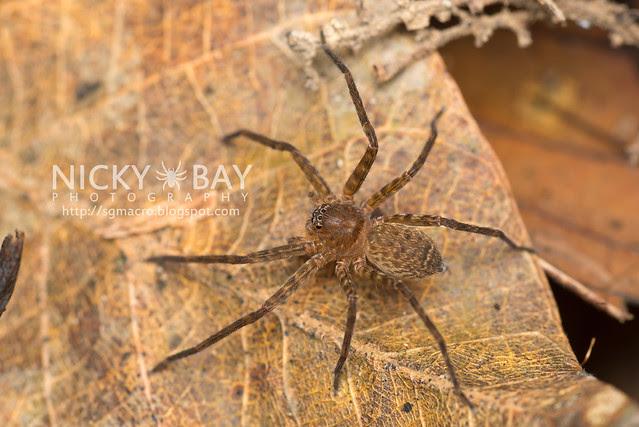 Huntsman Spider (Sparassidae) - DSC_2761