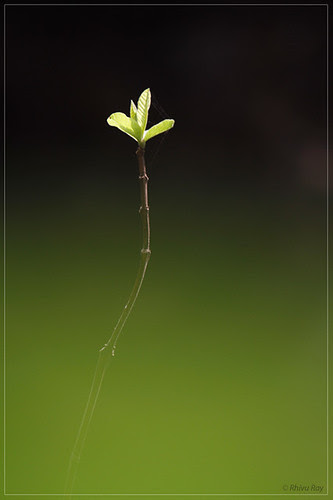 Green Leaves by Rhivu_Ray