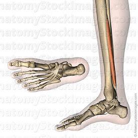 Anatomy Stock Images | Lower leg
