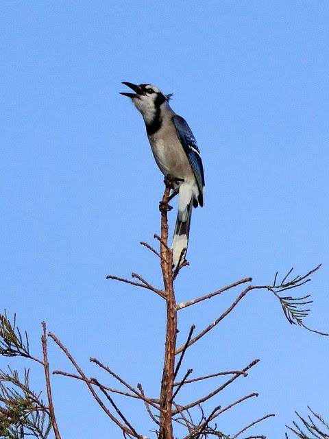 Blue Jay 20120128