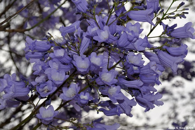 Jacarandá III - Jacaranda mimosifolia